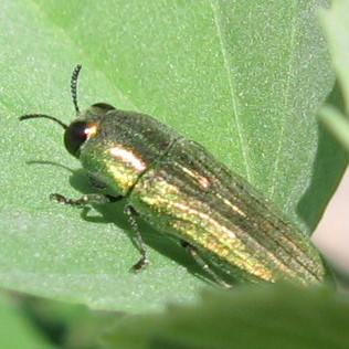 Green Buprestid - Agaeocera scintillans