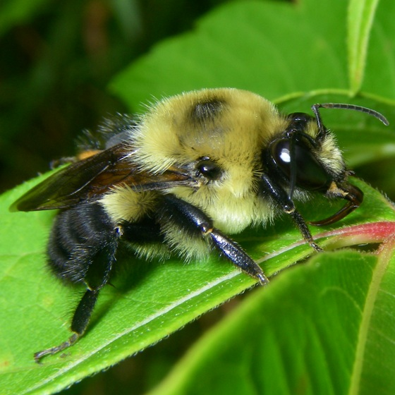 Bumble Bee - Bombus griseocollis - male