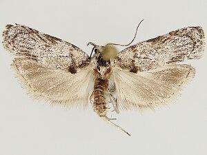Menestomorpha oblongata - Hodges #1028 - Menestomorpha oblongata