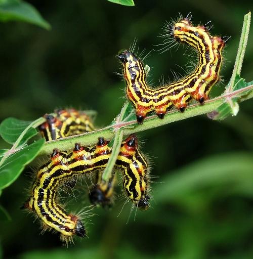 Datana caterpillars on winged sumac - Datana perspicua