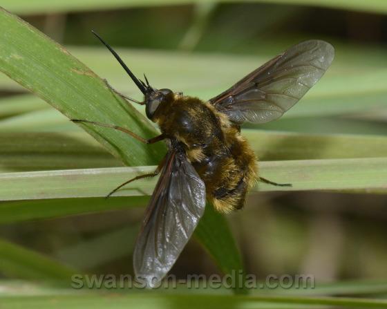 Bee Fly - Bombylius validus
