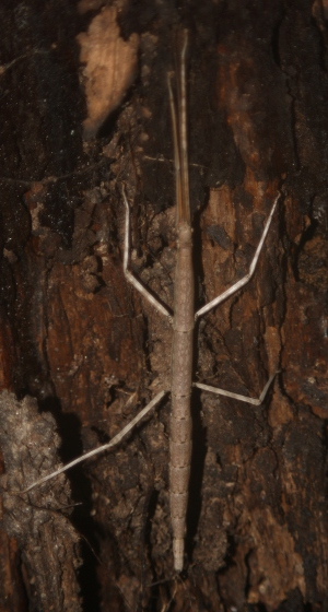 Walking Stick - Diapheromera femorata - female