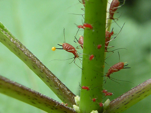 aphid with yellow ball - Uroleucon eupatoricolens