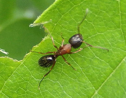 prairie ant - Camponotus novaeboracensis