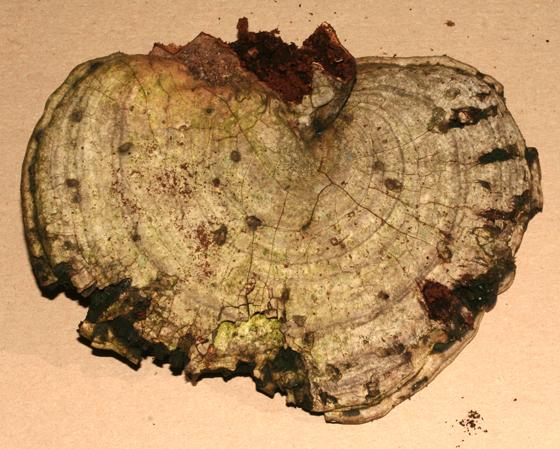 Ganoderma applanatum, artist conk - Bolitotherus cornutus