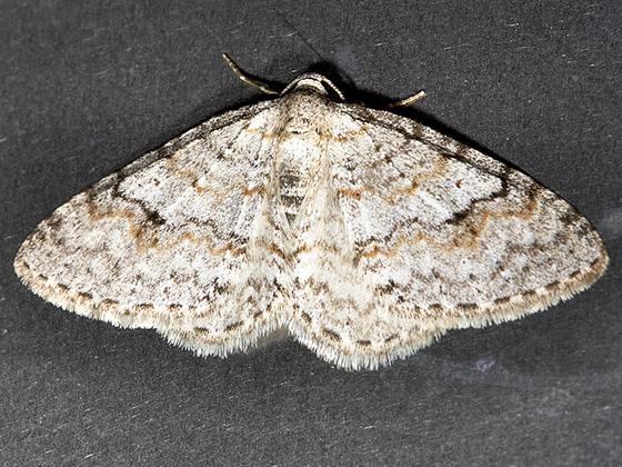 Brown-shaded Carpet - Hodges#7428 - Venusia comptaria