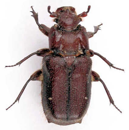 Cremastocheilus - ? - Cremastocheilus quadricollis