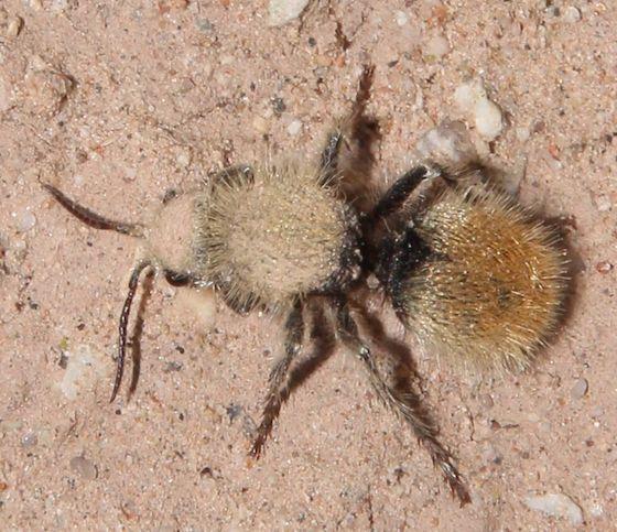 Yellow Velvet Ant - Dasymutilla eminentia - female