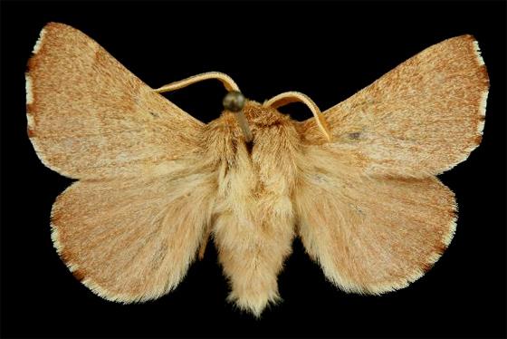 7699  - Malacosoma constricta