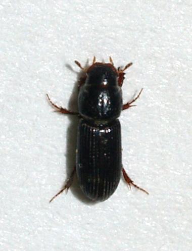 - Pleurophorus caesus