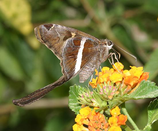 White-striped Longtail - Chioides albofasciatus