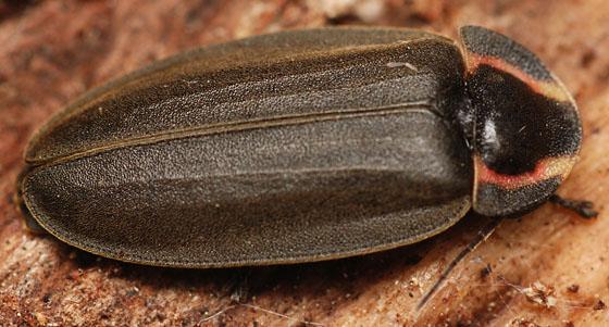diurnal lightning bug - Ellychnia corrusca
