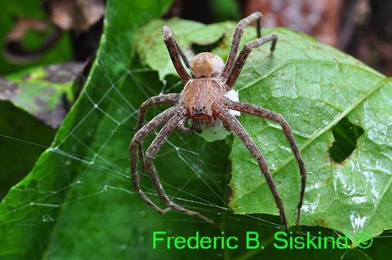 Spider with eggsac (DSP21) - Pisaurina mira - female