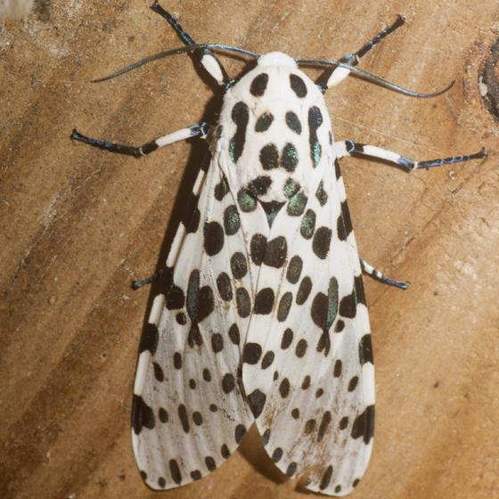 Giant Leopard Moth - Hodges #8146 - Hypercompe scribonia