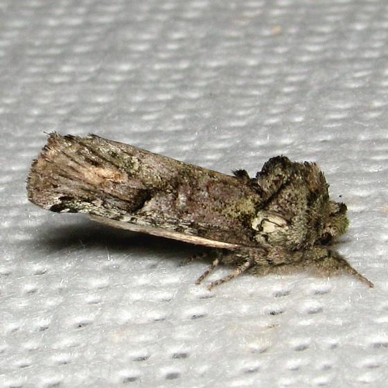 Schizura errucata - Hodges #8008 - Schizura errucata
