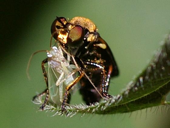 Robber Fly - Eudioctria sackeni