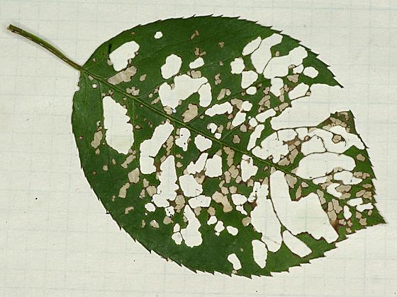 sawfly - Cladius difformis