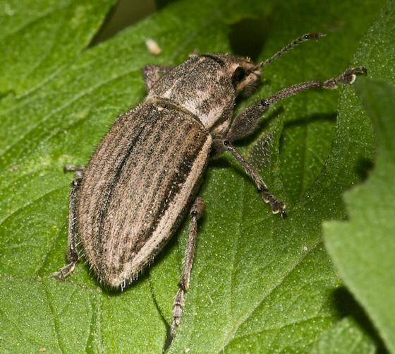 weevil, possibly white fringed, Naupactus peregrinus  - Naupactus