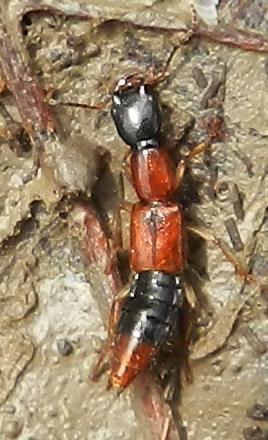 Rove Beetle - Homaeotarsus