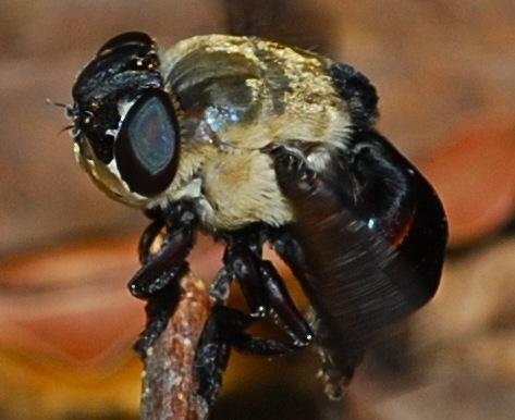 Syrphidae? - Cuterebra emasculator