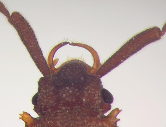 Silvanidae, head, dorsal - Uleiota dubia - male