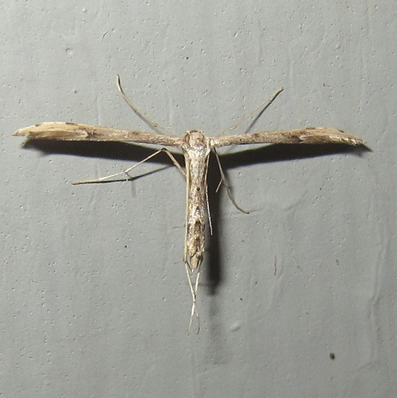 Hodges #6160 - Ragweed Plume Moth - Adaina ambrosiae