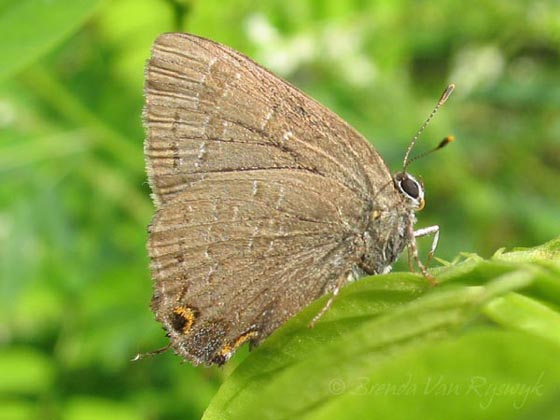 Hickory Hairstreak? - Satyrium caryaevorus