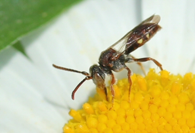 small fly on daisy - Nomada