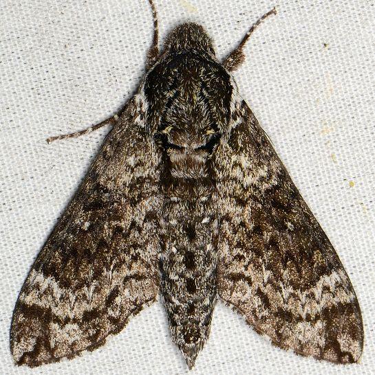 Pawpaw Sphinx Moth - Dolba hyloeus
