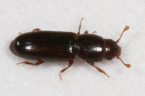 tiny beetle - Rhizophagus remotus