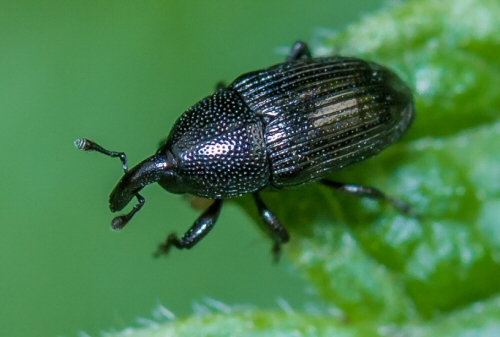 small black snout beetle