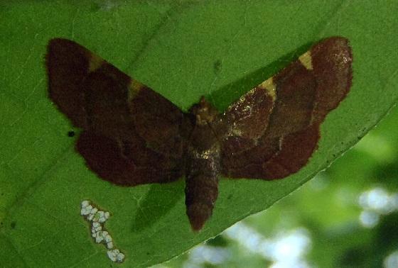 Hypsopygia binodulalis (Pink-Fringed Dolichomia) - Hypsopygia binodulalis