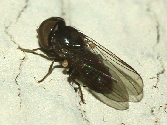 Big-headed Fly - Chalarus