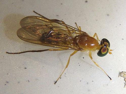 Orange fly - Ptecticus trivittatus - female