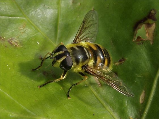 Fly - Myathropa florea - female