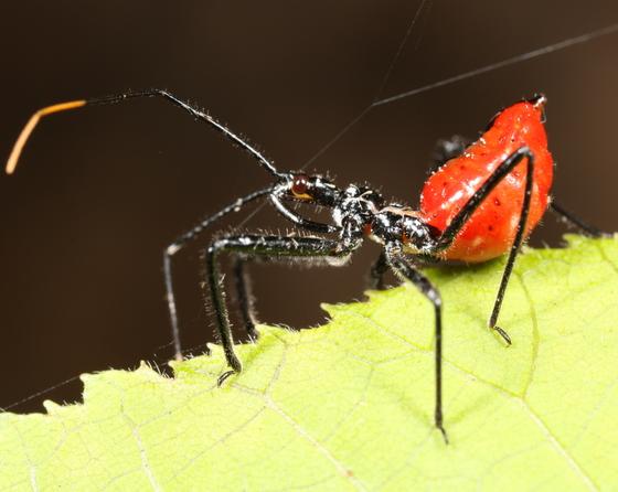 Red and black assassin bug nymph - Arilus cristatus