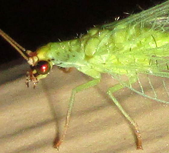 Lacewing 040714 - Chrysopa