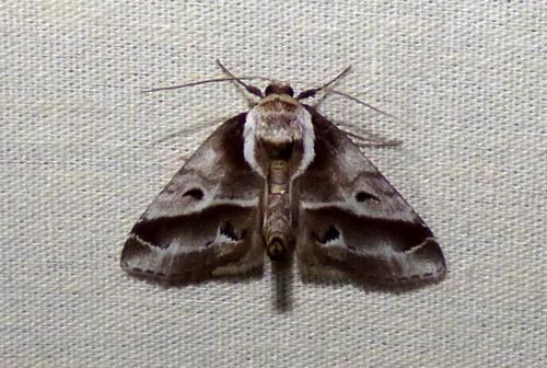 4/24/18 moth - Baileya doubledayi