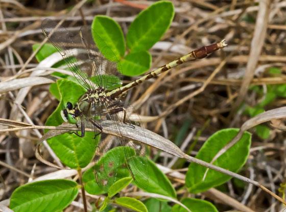 DragonflyClubtailTBID04142015 - Arigomphus pallidus - male