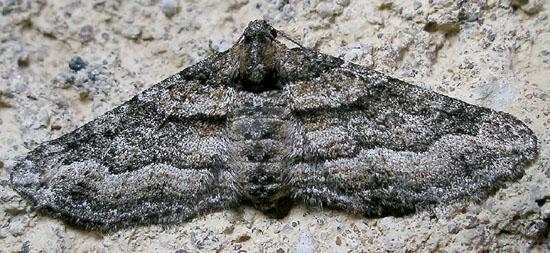 very chubby moth - Lithostege deserticola - female