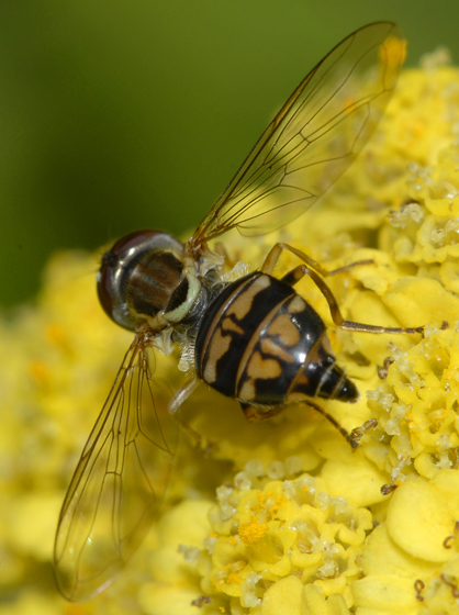 Toxomerus politus ?? - Toxomerus occidentalis - female