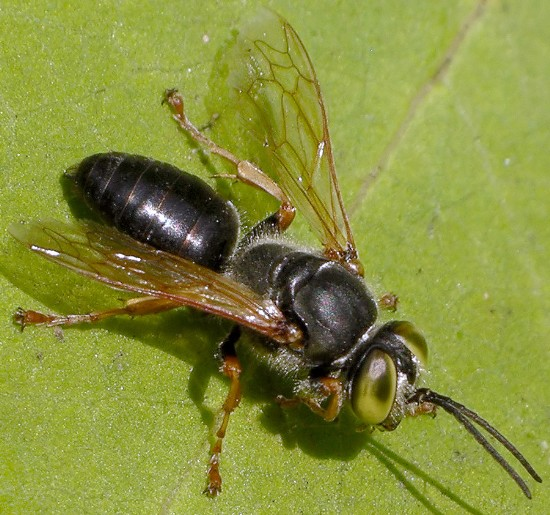 watchful wasp - Tachytes crassus - male