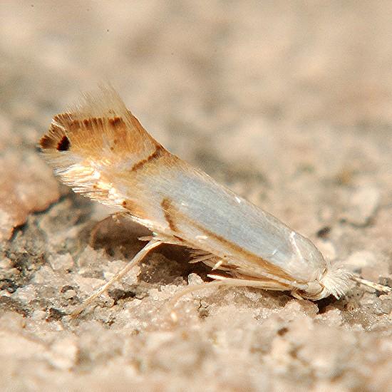 Moth, Phyllonorycter querciabella? - Phyllonorycter argentifimbriella