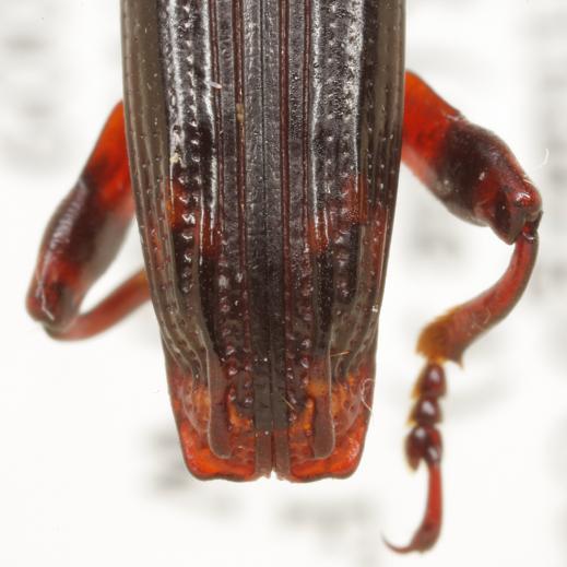 Heterobrenthus texanus Schaeffer - Heterobrenthus texanus
