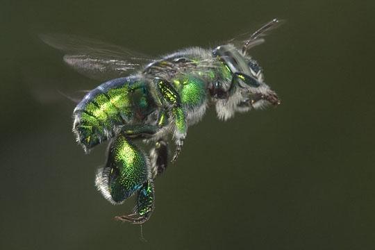Orchid Bee in flight - Euglossa dilemma - male