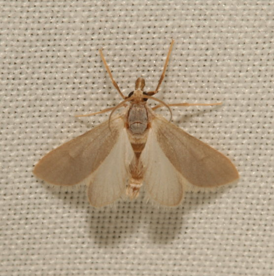 Crambidae, Water Veneer - Acentria ephemerella