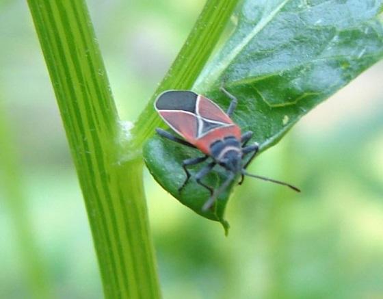 Milkweed Bug?