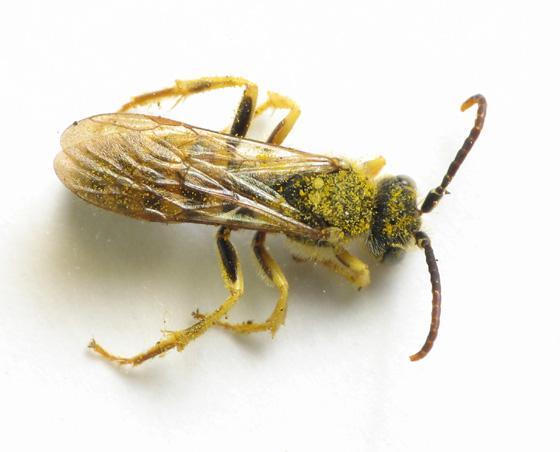 Another Nomada - Nomada - male