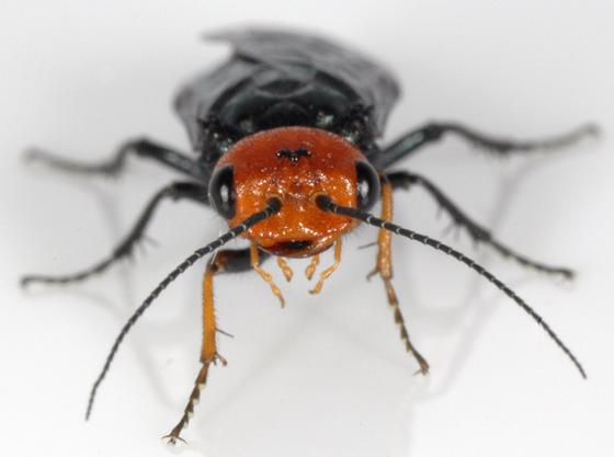 Red-headed Sawfly - Acantholyda erythrocephala - female
