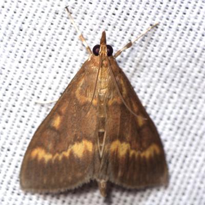 European Corn Borer Moth - Hodges #4949 - Ostrinia nubilalis - male